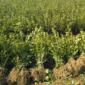 轻基质营养杯高产油茶树苗批发价格,嫁接油茶苗基地多少钱一棵