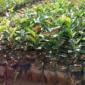 中国高产油茶之乡,油茶籽苗,油茶籽种植习性,油茶管理