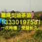油茶嫁接穗条,高产油茶苗圃基地,种植油茶可行性报告