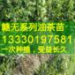 油茶苗,油茶苗价格,基地批发,高产油茶苗,嫁接油茶树苗